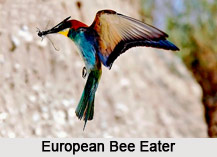 European Bee-Eater, Indian Bird