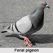 Feral Pigeon, Indian Bird