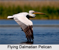 Dalmatian Pelican, Indian Bird