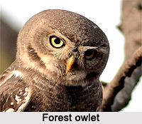 Forest Owlet, Indian Bird