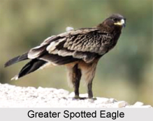 Greater spotted eagle, Indian Bird
