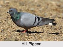 Hill Pigeon, Indian Bird