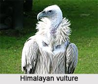 Himalayan Vulture, Indian Bird