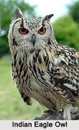 Indian Eagle-Owl, Indian Bird