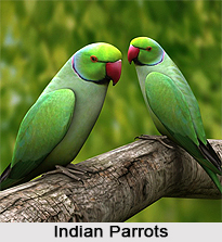 Indian Parrot, Indian Bird