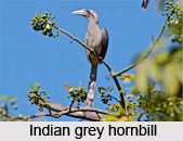 Indian Grey Hornbill, Indian Bird