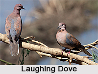 Laughing Dove, Indian Bird
