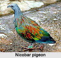 Nicobar Pigeon, Indian Bird
