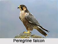Peregrine falcon, Indian Bird