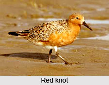 Red Knot, Indian Bird