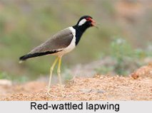Red-Wattled Lapwing, Indian Bird