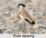 River Lapwing, Indian Bird