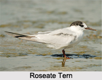 Roseate Tern, Indian Bird