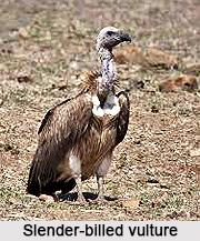 Slender-Billed Vulture, Indian Bird