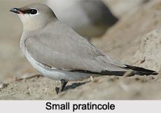 Small Pratincole, Indian Bird