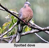 Spotted Dove, Indian Bird