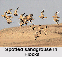 Spotted Sandgrouse, Indian Bird