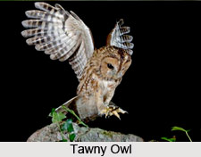 Tawny Owl, Indian Bird