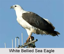 White-Bellied Sea Eagle, Indian Bird
