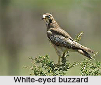 White-Eyed Buzzard, Indian Bird