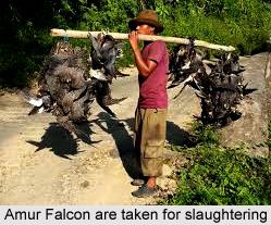 Amur Falcon, Indian Bird