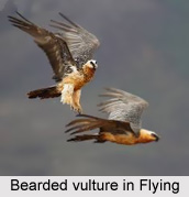 Bearded Vulture, Indian Bird