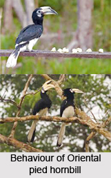 Oriental Pied Hornbill, Indian Bird