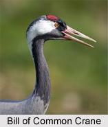 Common Crane, Indian Bird