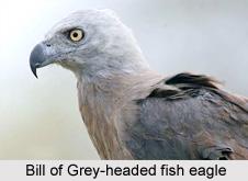 Grey-Headed Fish Eagle, Indian Bird