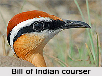 Indian Courser, Indian Bird