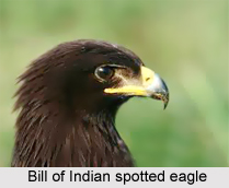 Indian spotted eagle, Indian Bird