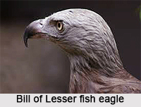 Lesser Fish Eagle, Indian Bird