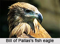 Pallas's Fish Eagle, Indian Bird