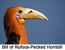 Rufous-Necked Hornbill, Indian Bird