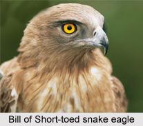 Short-Toed Snake Eagle, Indian Bird