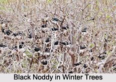 Black Noddy, Indian Bird