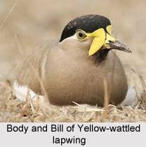 Yellow-Wattled Lapwing, Indian Bird