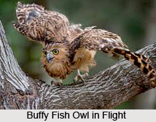 Buffy Fish Owl, Indian Bird