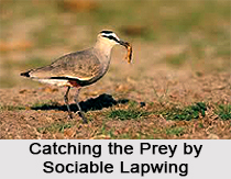 Sociable lapwing, Indian Bird