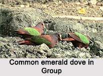 Common Emerald Dove, Indian Bird