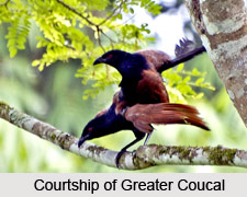 Greater Coucal, Indian Bird