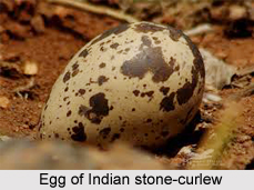 Indian Stone-Curlew, Indian Bird