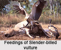 Slender-Billed Vulture, Indian Bird