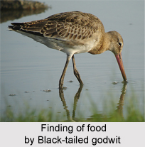 Black-Tailed Godwit, Indian Bird