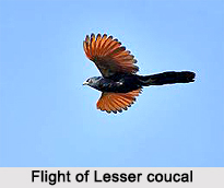 Lesser Coucal, Indian Bird