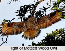 Mottled wood owl, Indian Bird