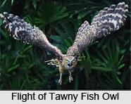 Tawny Fish Owl, Indian Bird