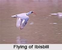 Ibisbill, Indian Bird
