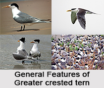 Greater Crested Tern, Indian Bird