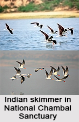 Indian Skimmer, Indian Bird